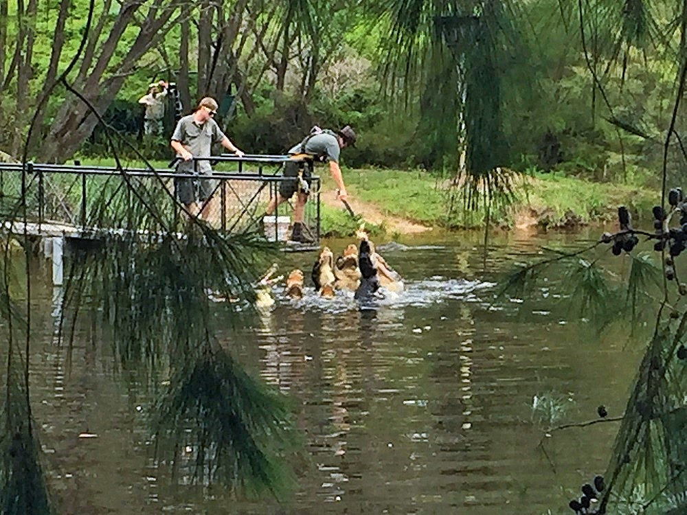 Krmení aligátorů v Reptail parku