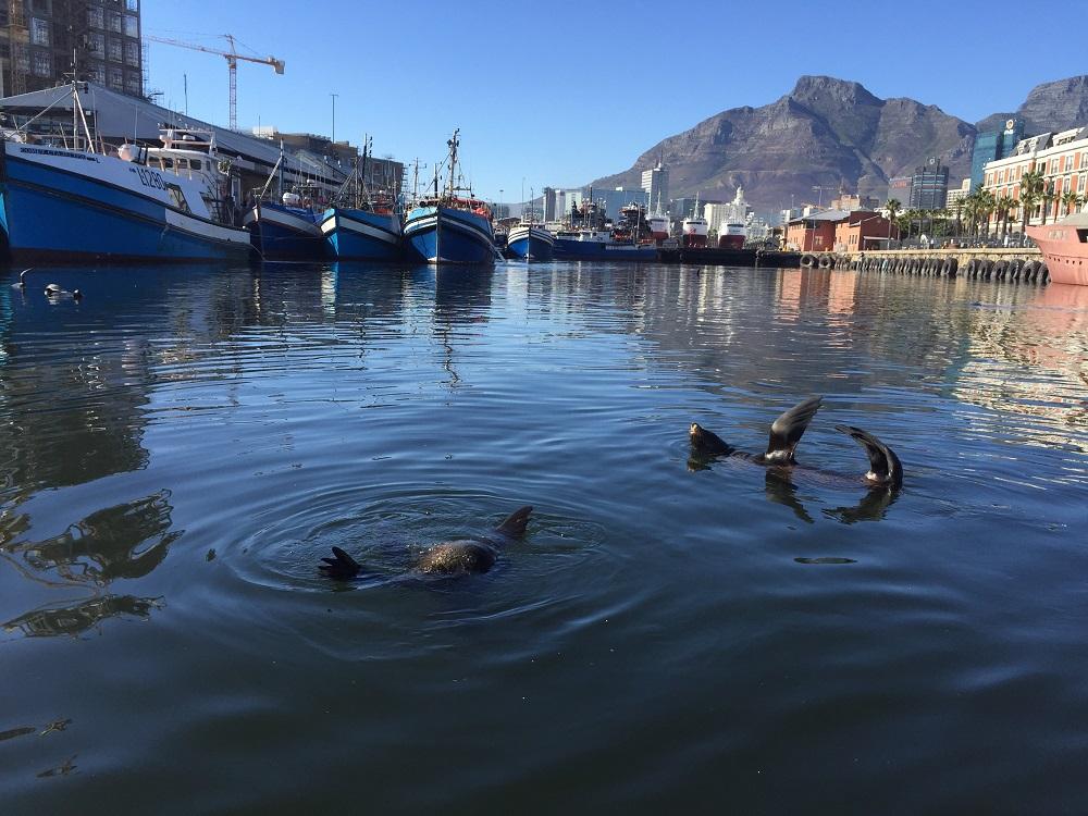 Lachtani v přístavu - Cape Town