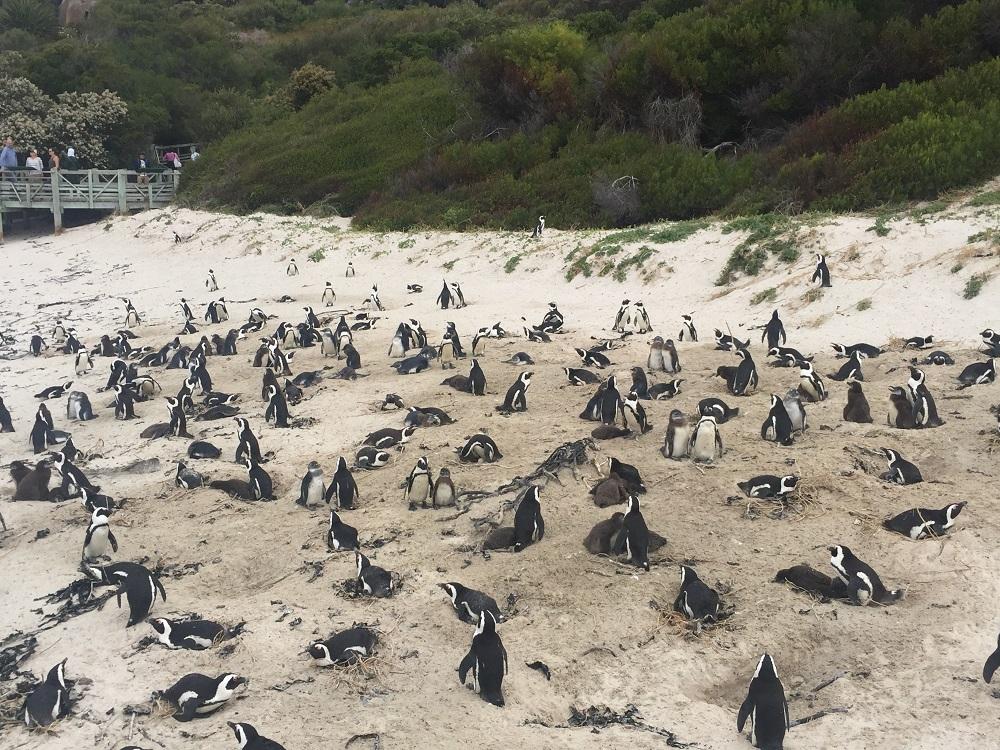 Kolonie tučňáků - Boulders beach